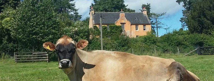 Black-Isle-Garden-Design-house-jersey-cow