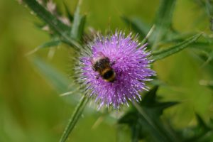 bee feeding on scotch thistle
