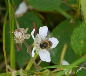 honey bee on bramble or blackberry flower