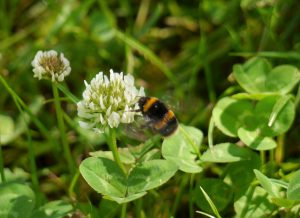 White clover provides food for bees